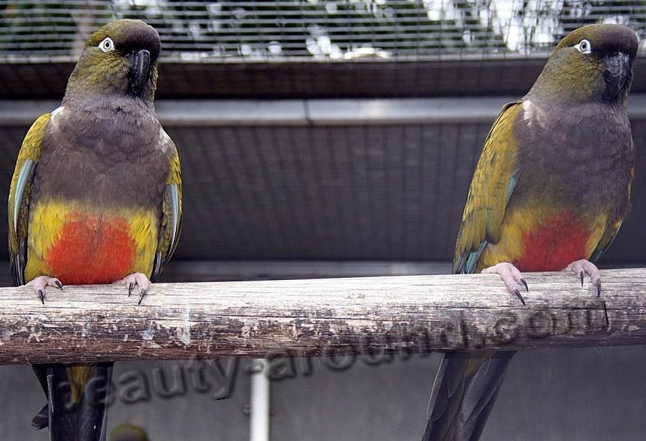 Скалистый (патагонский) попугай самые красивые попугаи фото