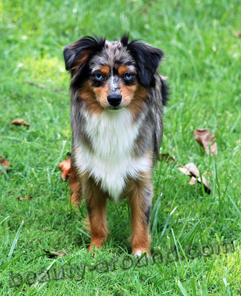 North American Miniature Australian Shepherd photo