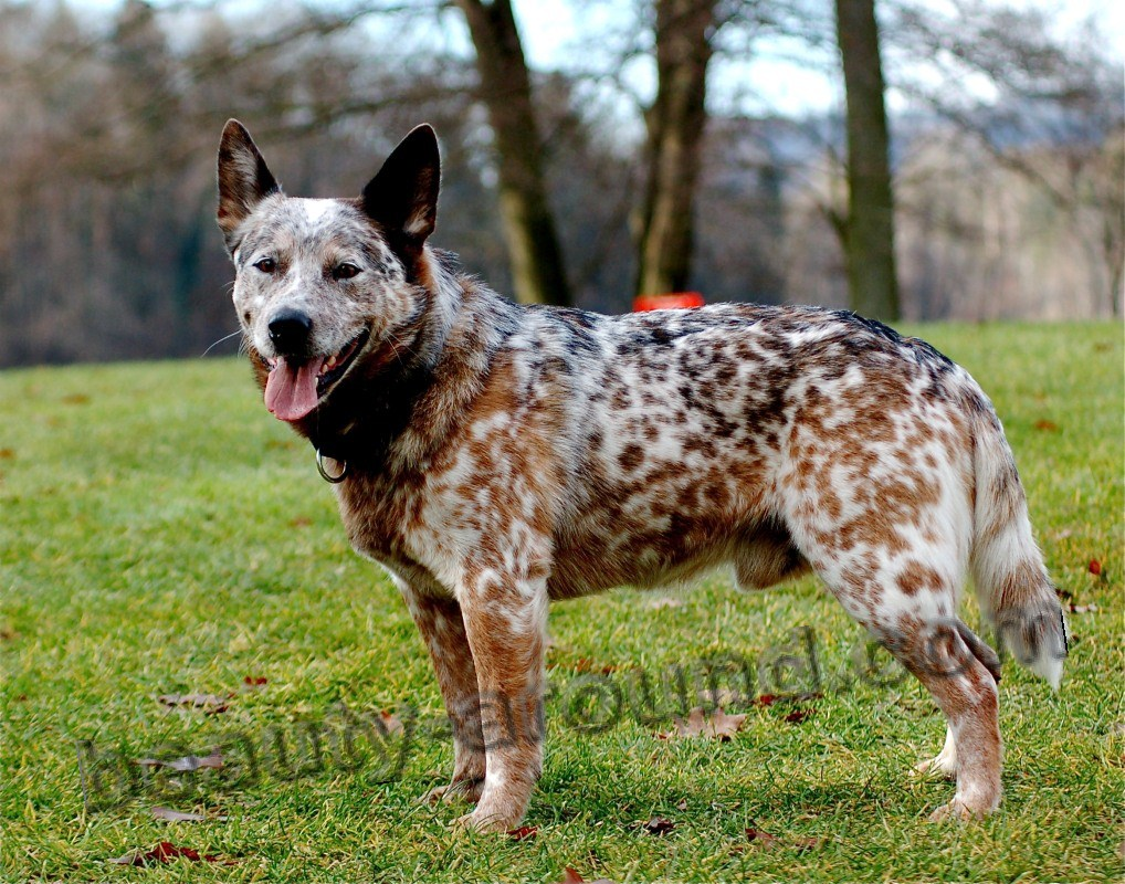 5Pastusha Australian Cattle Dog