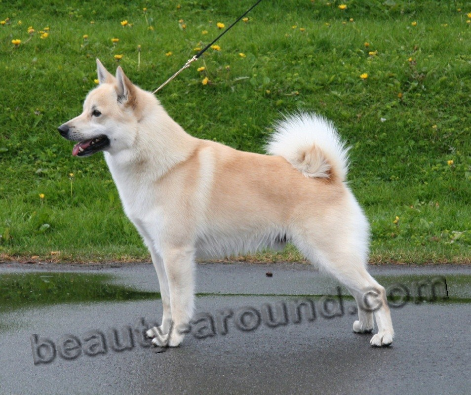 Norwegian Buhund pictures