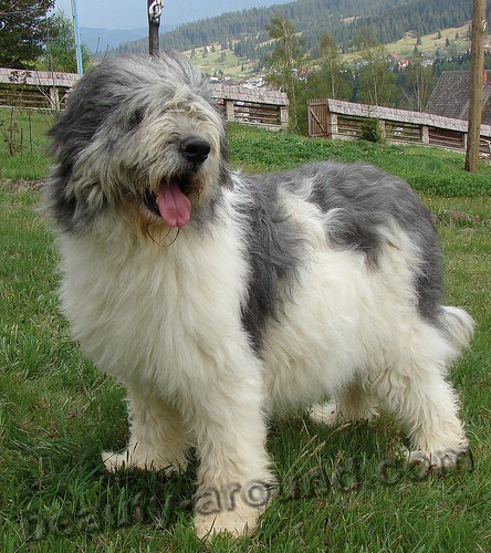 Romanian Mioritic Shepherd Dog photo
