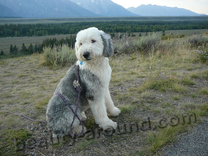 Wyoming Sheepdog photo
