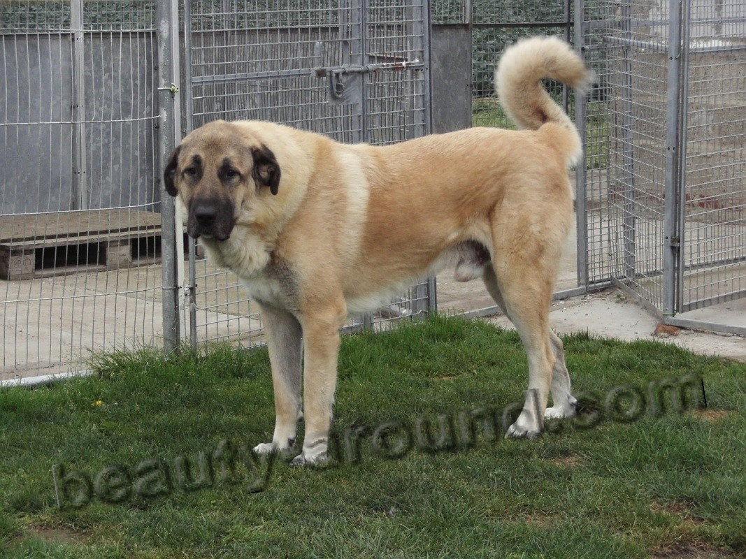 Anatolian Shepherd Dog (Kangal) photo