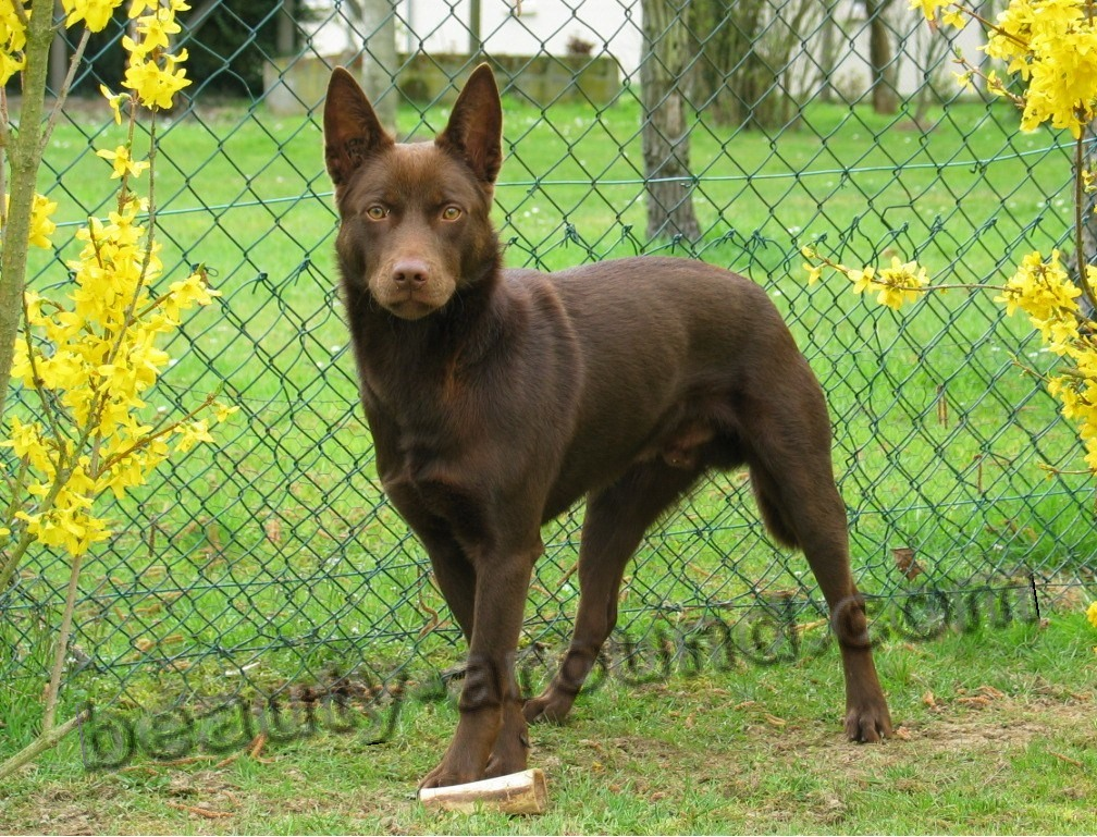 Australian Kelpie photo