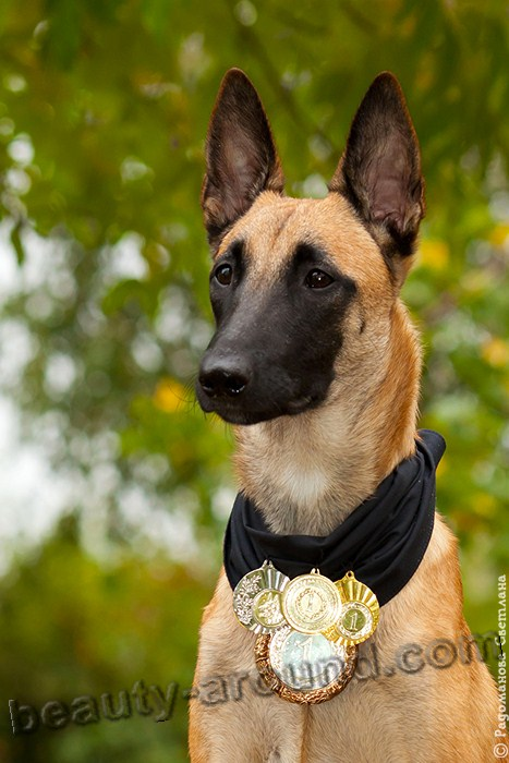 Belgian Shepherd Dog Malinois photo