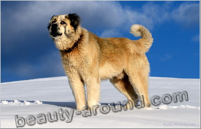 Greek Shepherd pictures