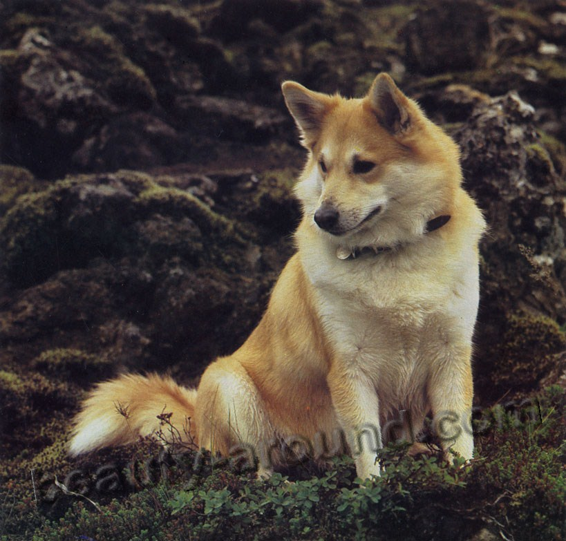 Icelandic dog photo