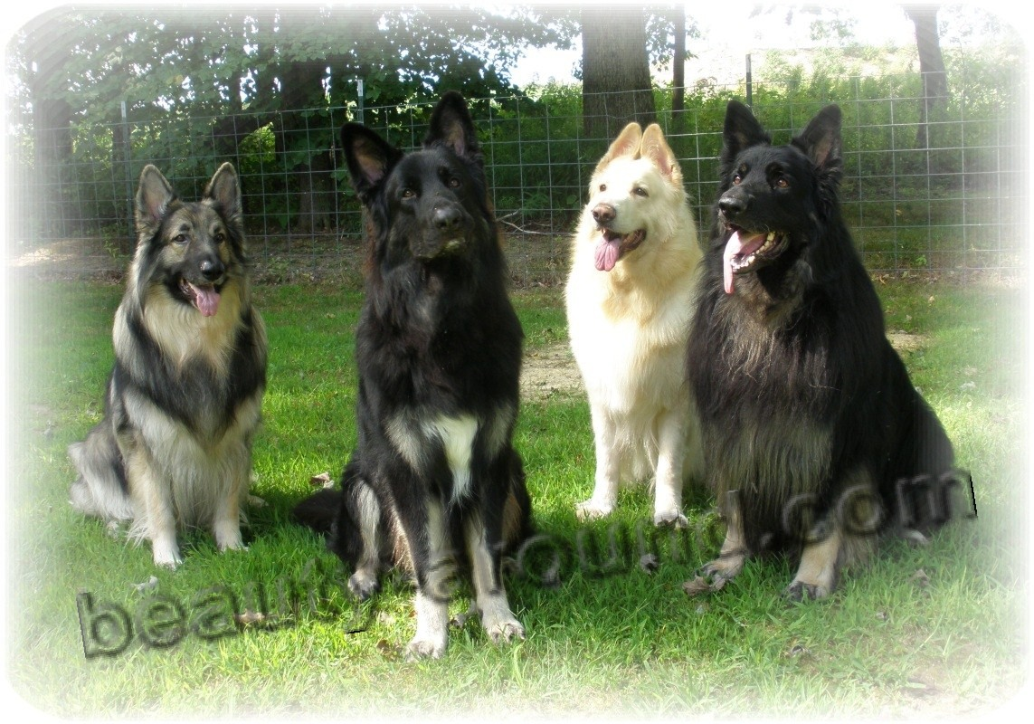 Shiloh Shepherd photo