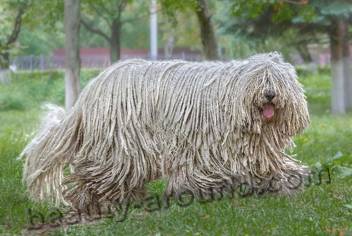 Hungarian Komondor pictures