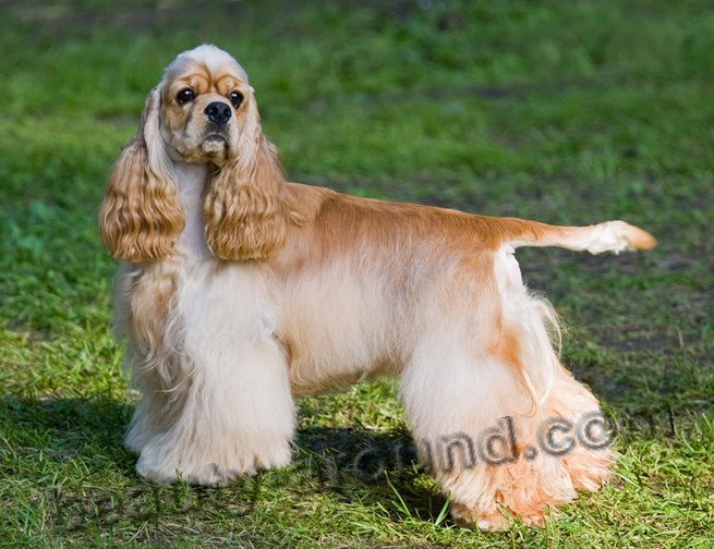American Cocker Spaniel photo