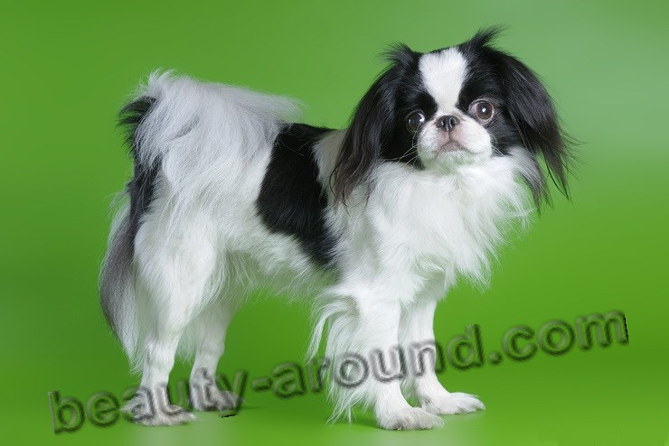 Japanese Chin photo