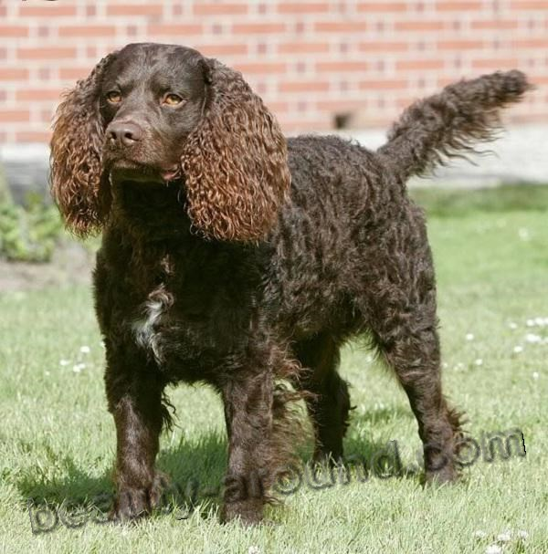 American Water Spaniel Photo