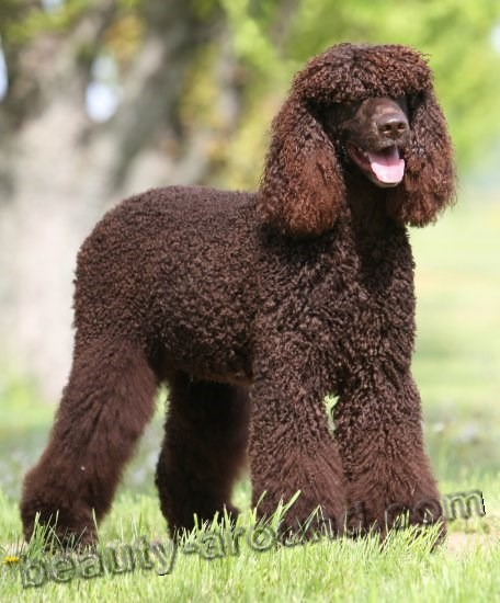 Irish Water Spaniel Photo