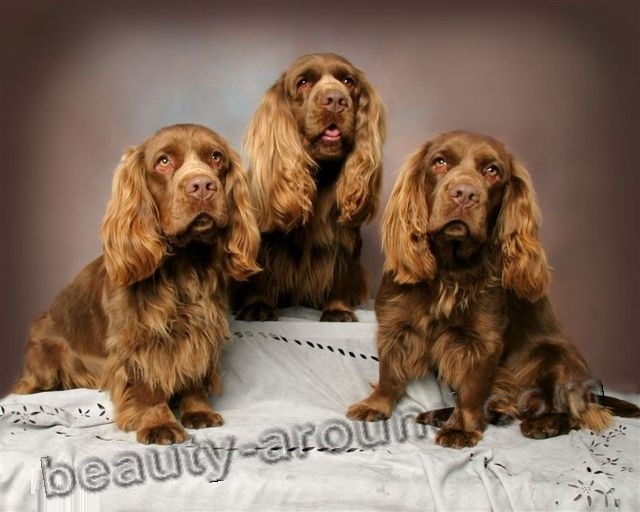 Sussex Spaniel Apartment Spaniel Breeds: All th...