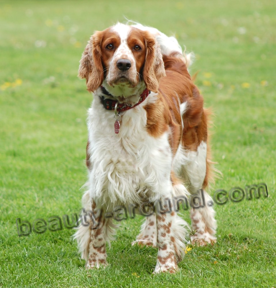 Welsh Springer Spaniel photo