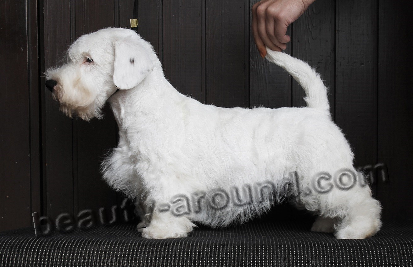 Sealyham Terrier photo