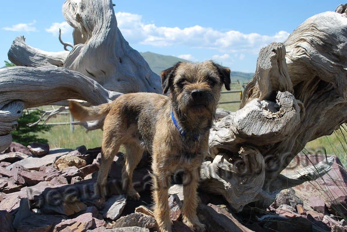 Border Terrier picture