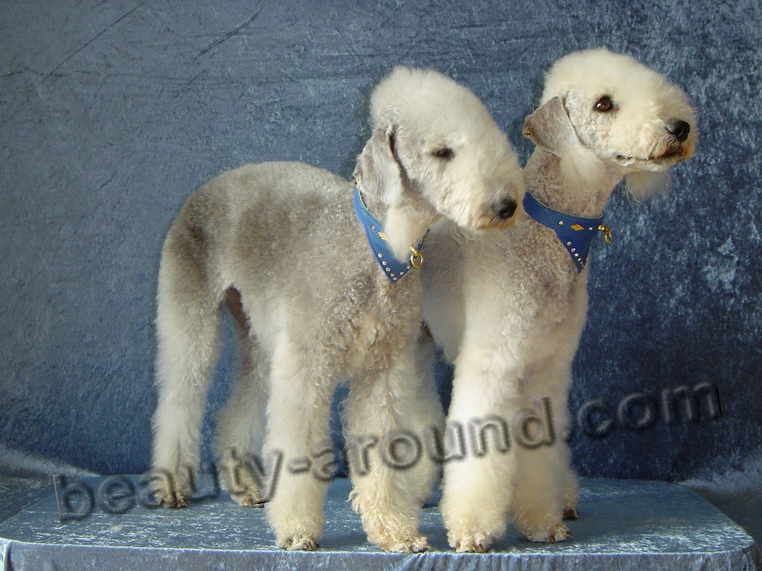 Bedlington-Terrier photo