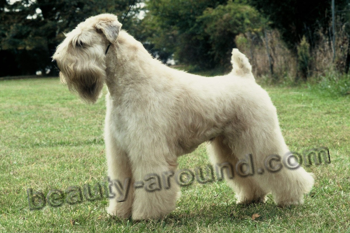 Irish Soft Coated Wheaten Terrier photo