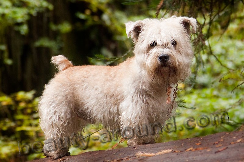Wheaten glen of imaal Terrier photo