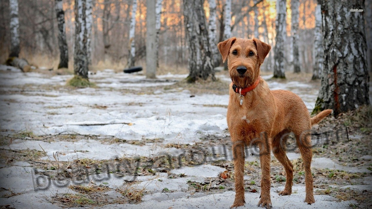 Irish Terrier photo