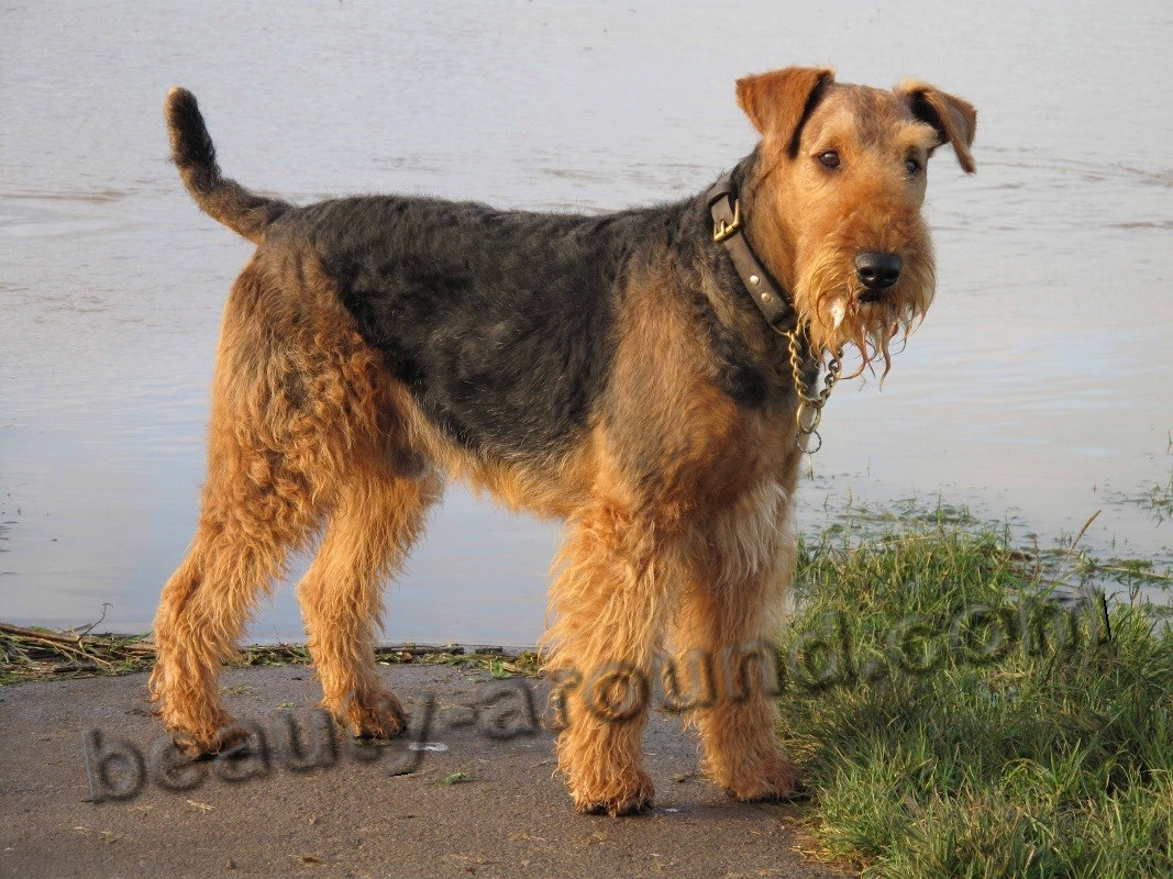 Airedale Terrier photo