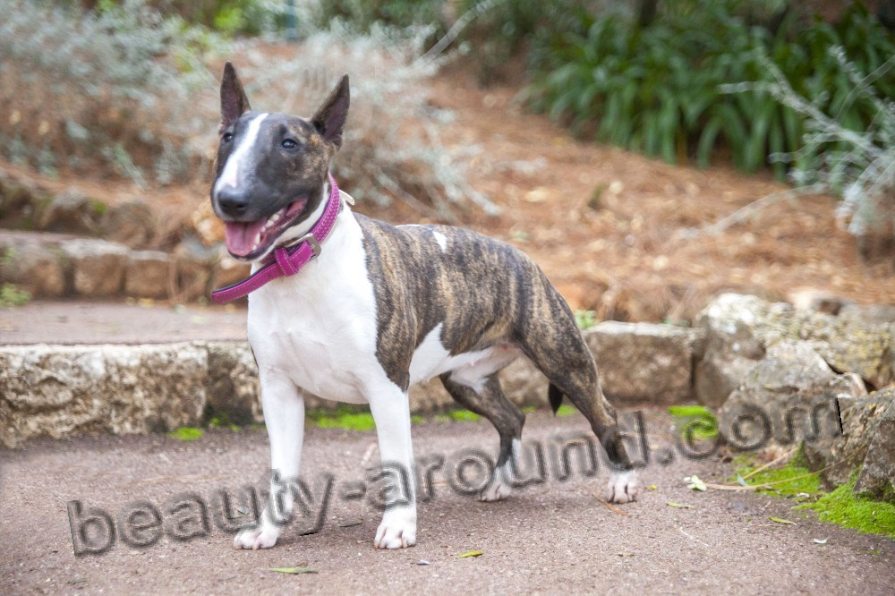 Bullterrier picture