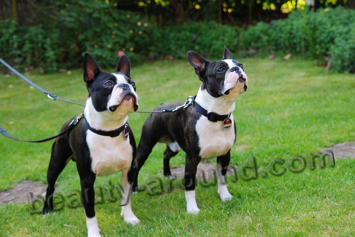 Boston-Terriers nice photo