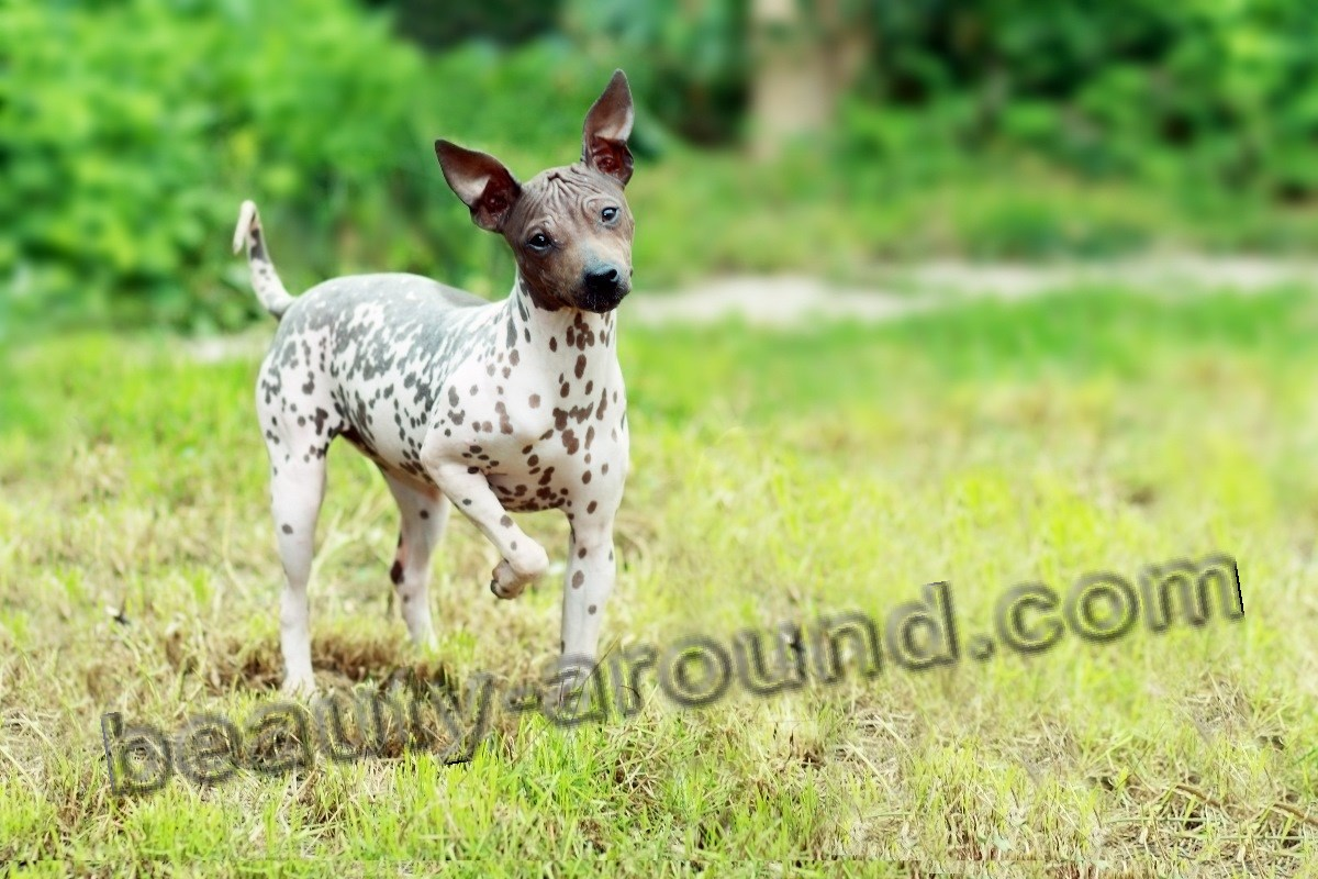 American hairless Terrier photo