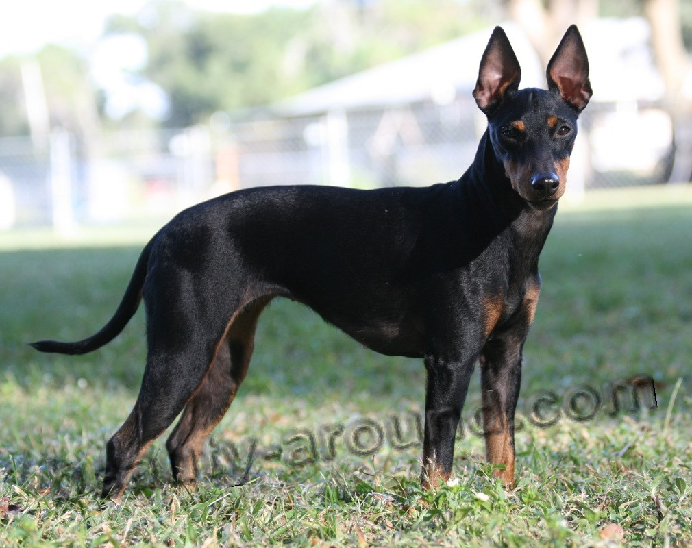 Toy-Manchester-Terrier picture