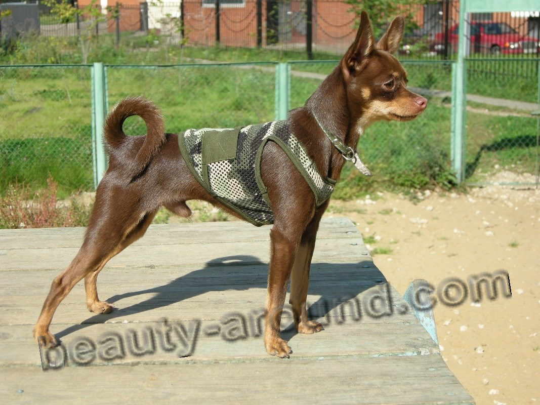 Russian Toy-Terrier (shorthair) photo