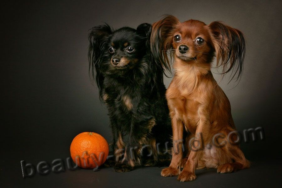 Russian Toy-Terrier (longhair) picture