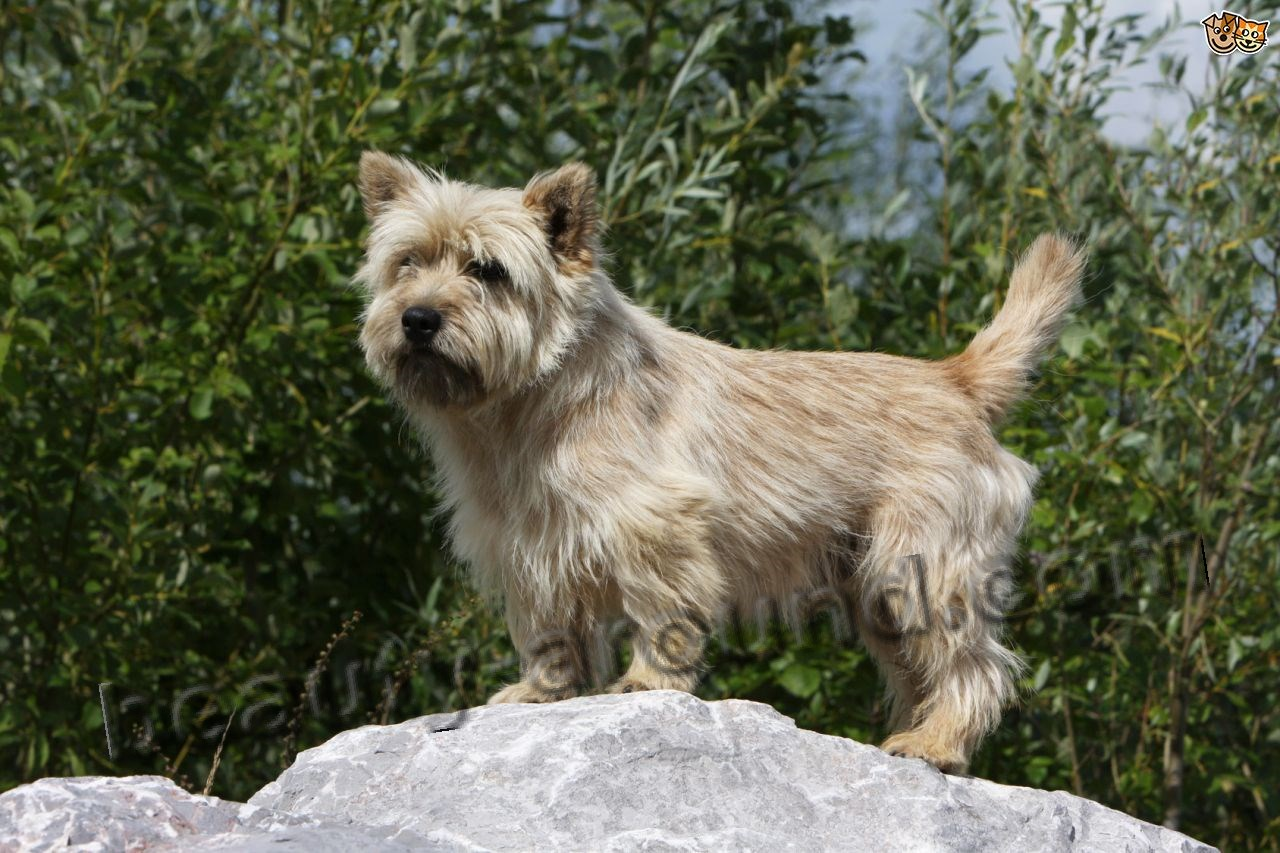Cairn Terrier photo