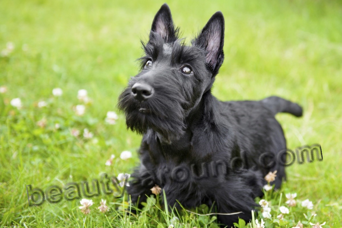 Scottish Terrier beautiful photo