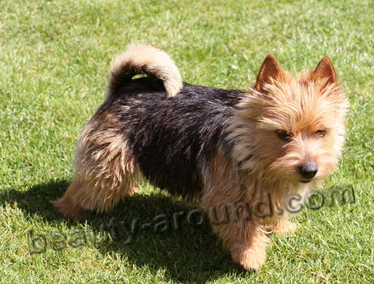 Norwich Terrier photo