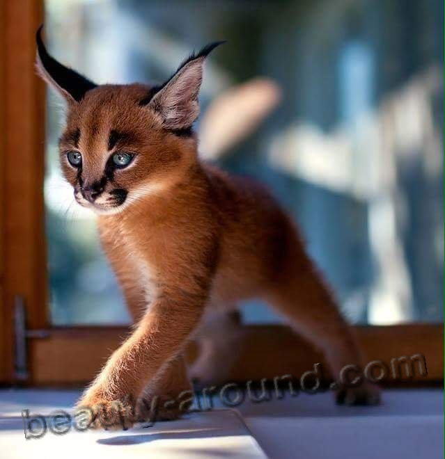 Cat Caracal picture