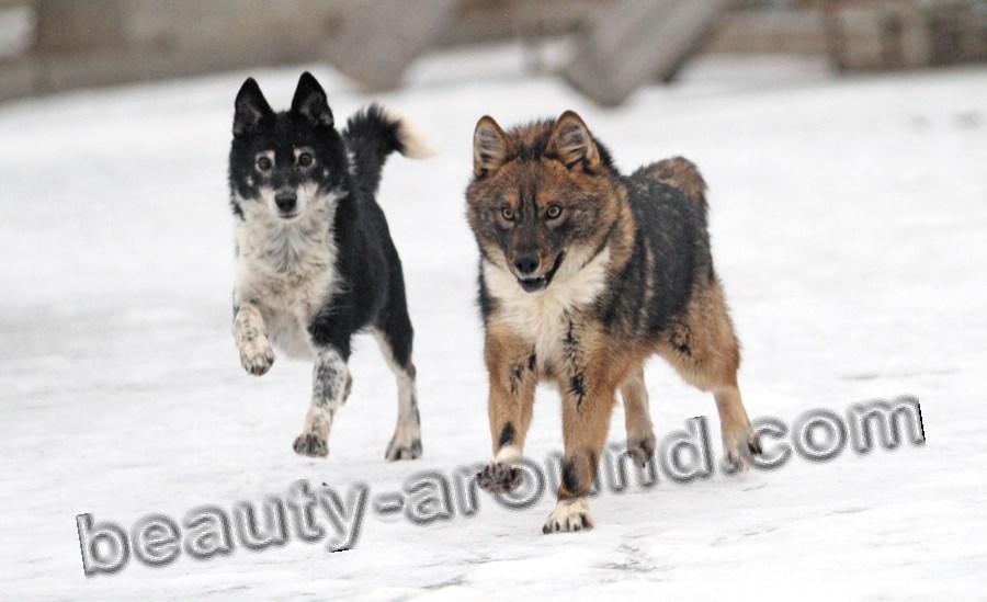 Собака Сулимова шалайка фото