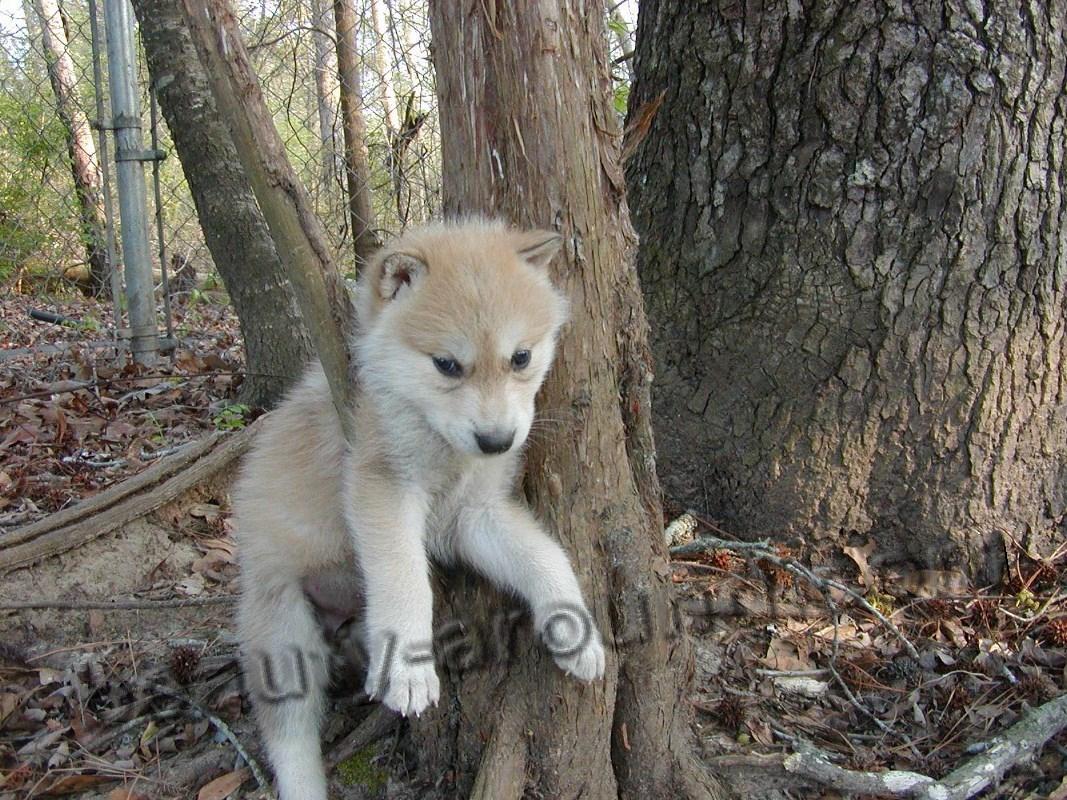 Светлый щенок волкособа фото