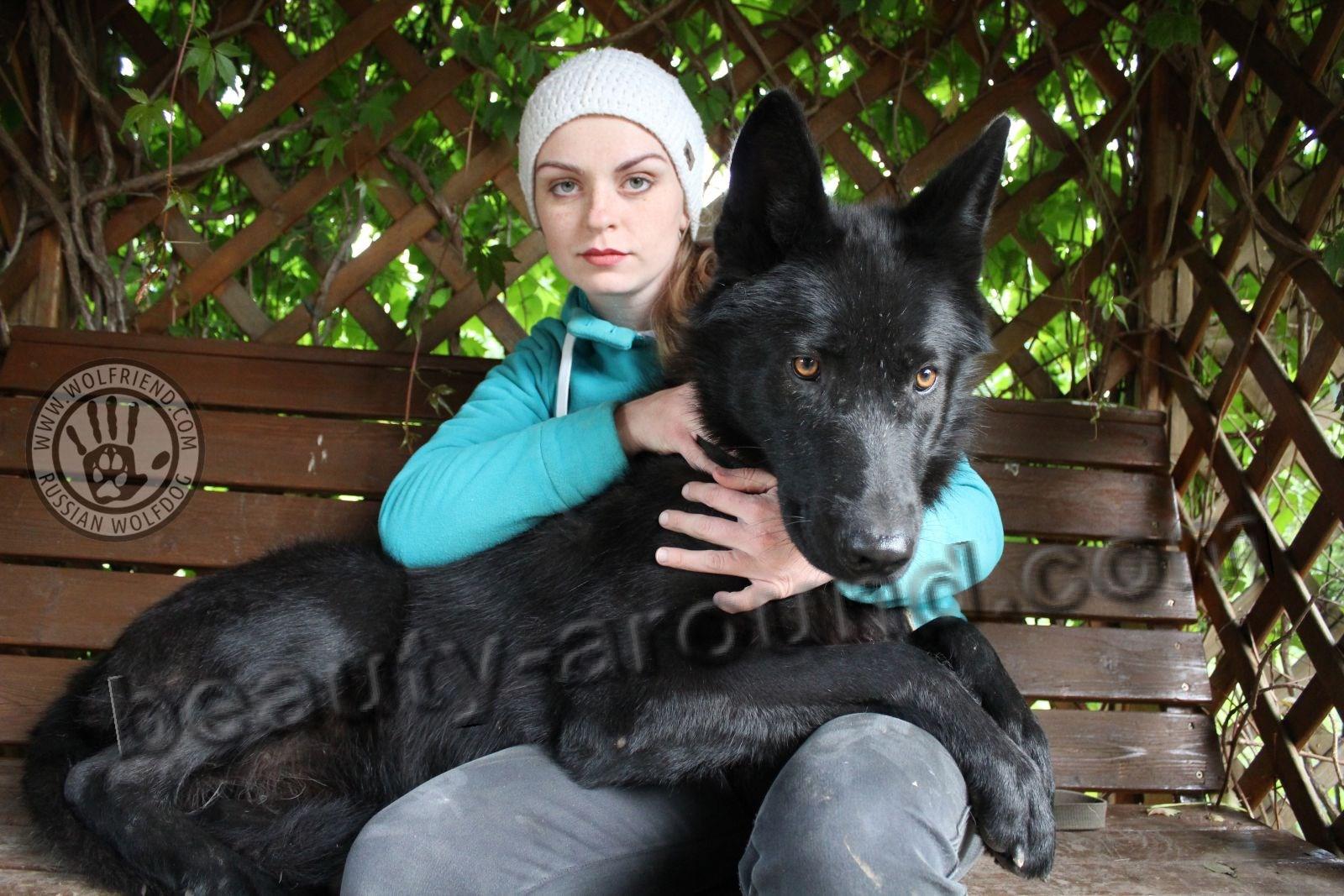 Чёрный волкособ Швейцвульф фото