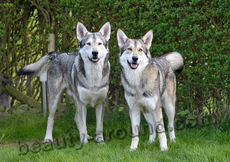 Wolf dog's Saarloos. Photo