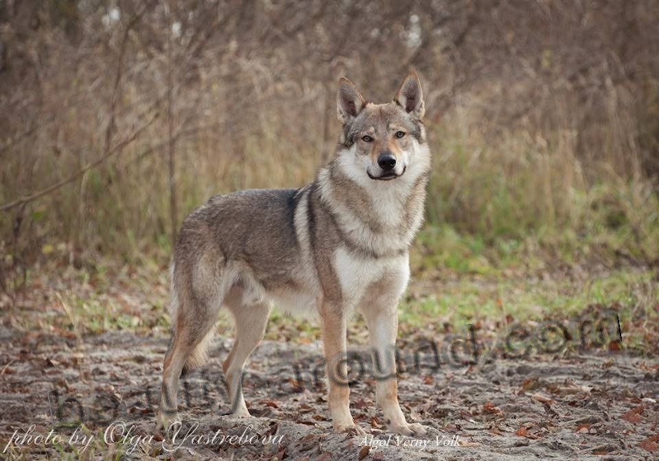 Czechoslovakian Wolfdog photo