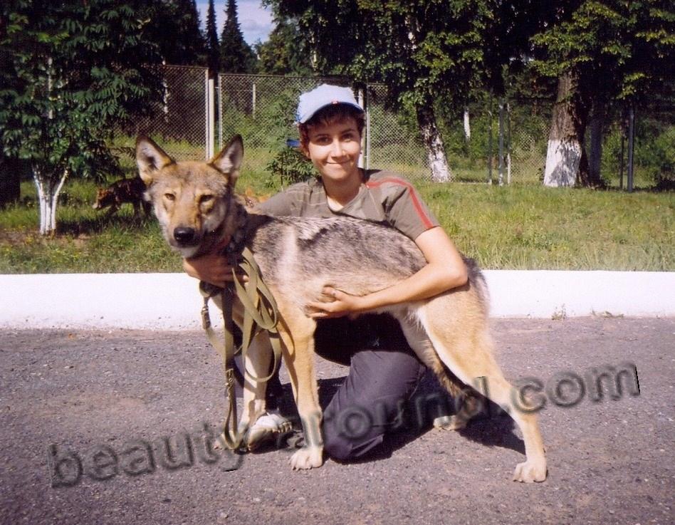 Подросший щенок волкособа фото
