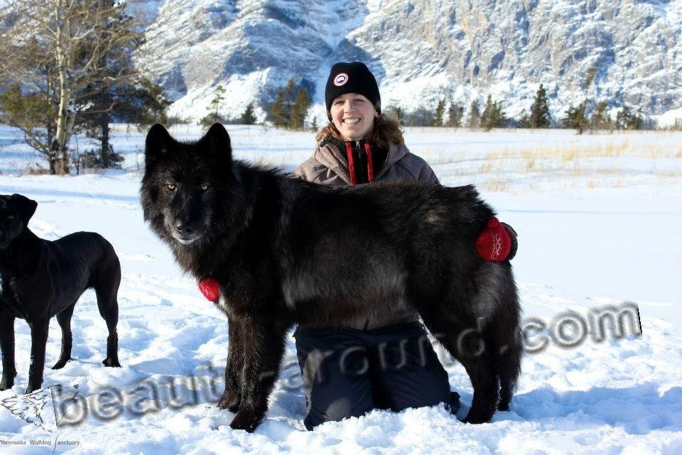 Волкособ и человек фото
