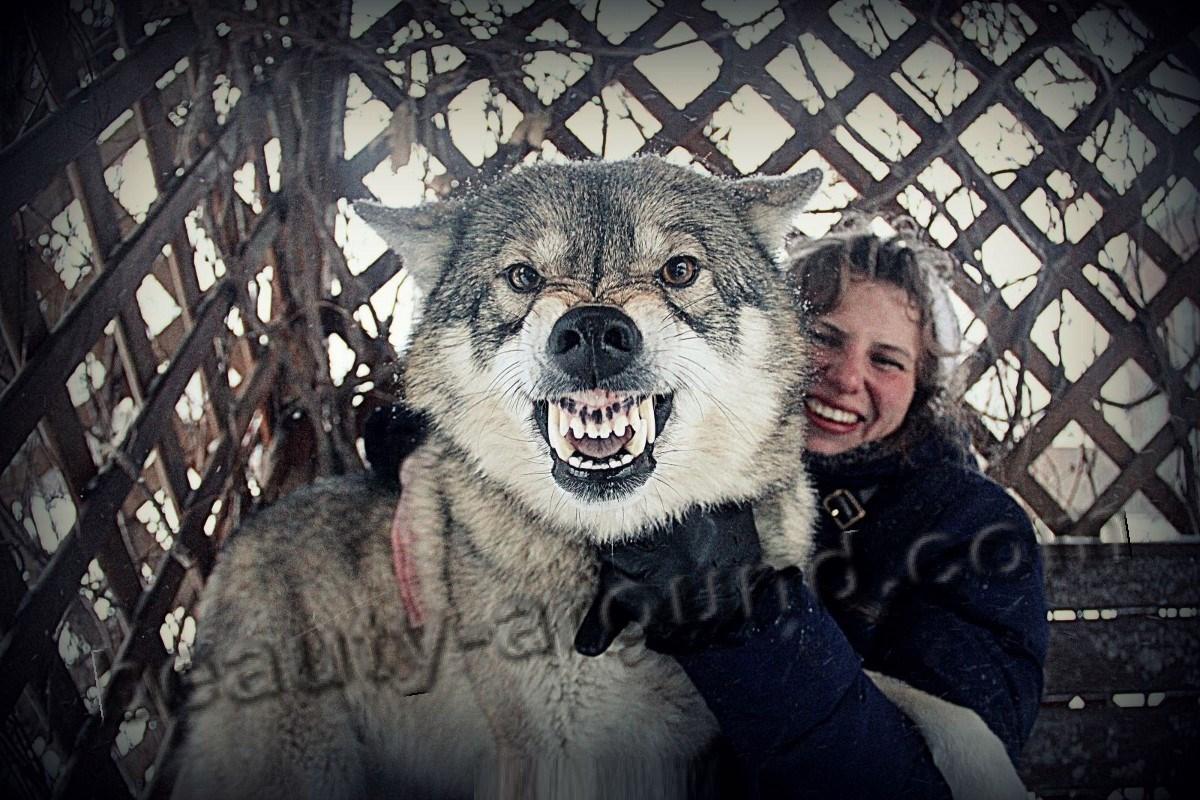 Оскал волкособа фото