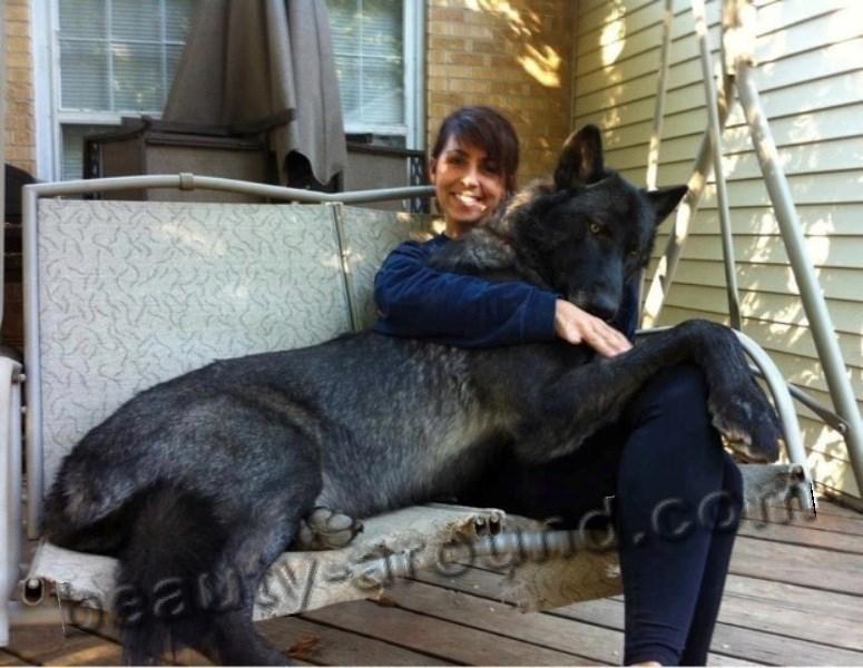 Чёрный волкособ фото