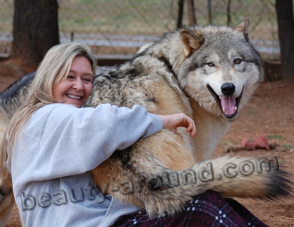 Гибрид волка и собаки фото