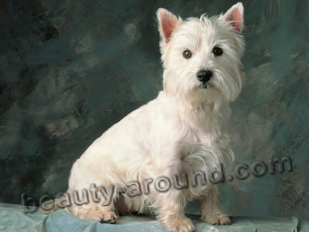 West Highland White Terrier picture