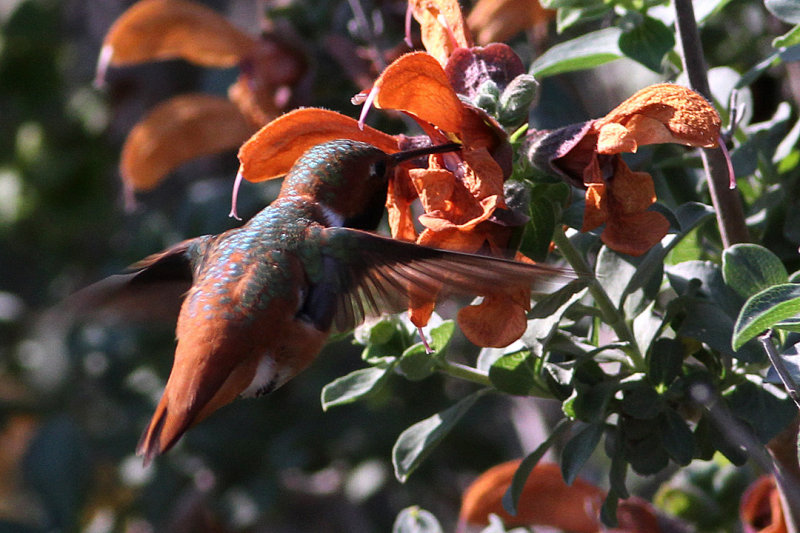 beautiful humming birds photos