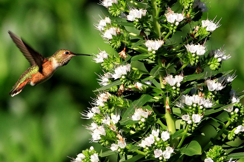 photos of humming birds