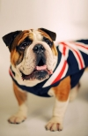 Bulldogs and Mastiff (breeds and photos)